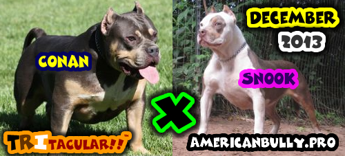 American Bully Breeding - Conan X Snook - Due December 2013