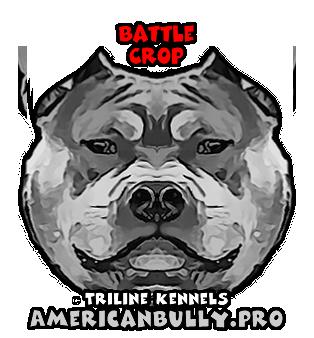 American Bully Battle Crop