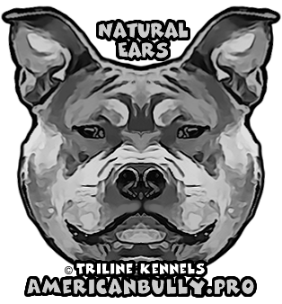 American Bully Natural Ears
