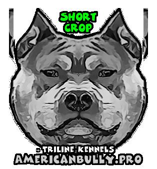 American Bully Short Crop