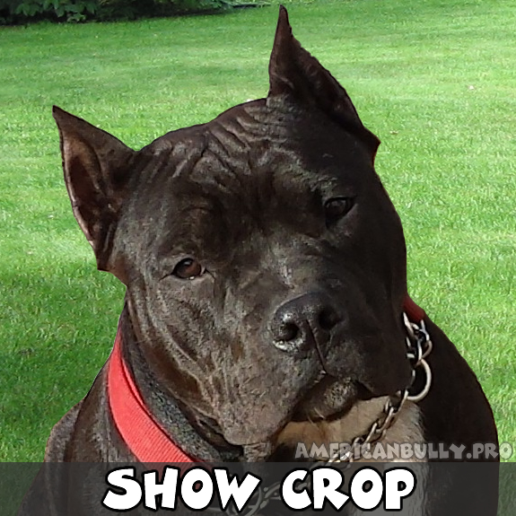 Pitbull Long Crop Ear Cropping On Re Cropped Ears Pitbulls For Ear ...