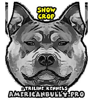American Bully Show Crop