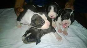 American Bully Puppy For Sale (9)