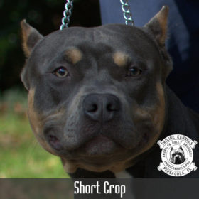 American Bully Short Crop