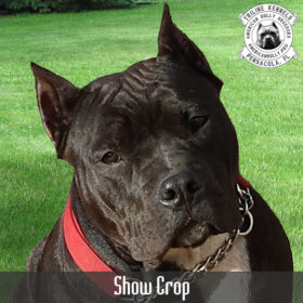 American Bully Show Crop