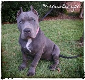American Bully Puppy For Sale - Bonnie
