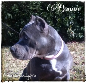 American Bully Puppy For Sale - Bonnie