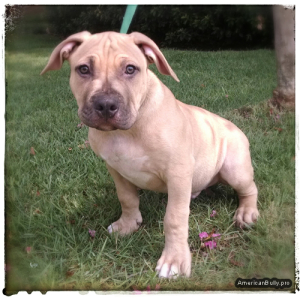 American Bully Puppy - Capone