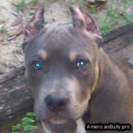 American Bully Short Ear Crop