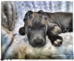 American Bully Puppy Texas Jack