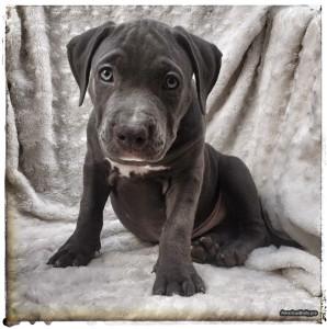 American Bully Puppy - Queenie