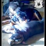 TriLine Dogs