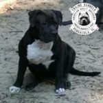 American Bully TriLine's Magic