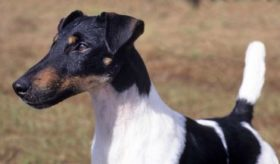 A Tricolor Smooth Fox Terrier