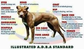 Adba Pit Bull Standard