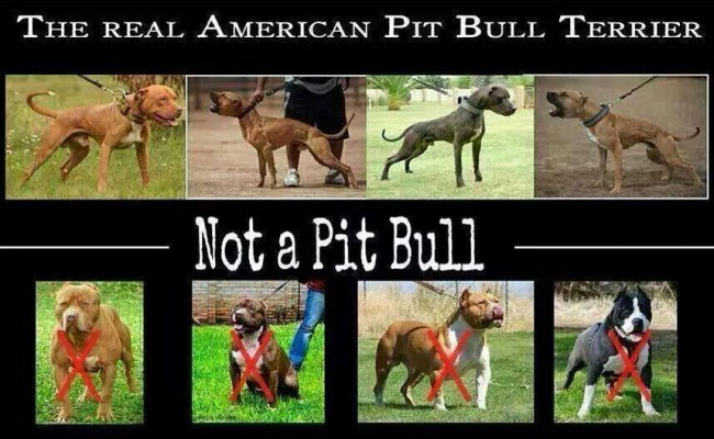 What Is The Difference Between American Bully And American Pit Bull