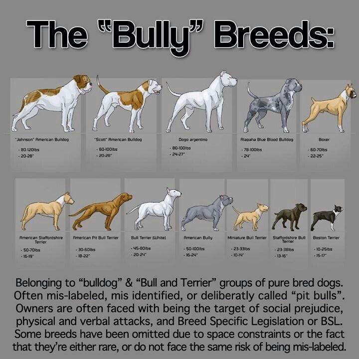 What Is The Difference Between American Bully And American