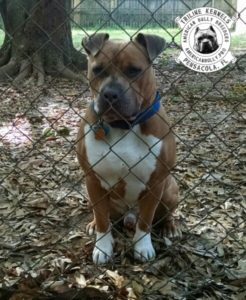 Tricolor In The American Bully | TriLine Kennels