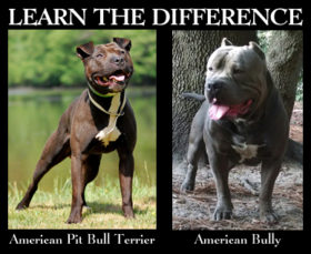 What is the difference between american bully and american pit bull whats the difference between american pit bull terrier and american bully forumfinder Image collections