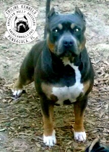 Blue Tricolor American Bully