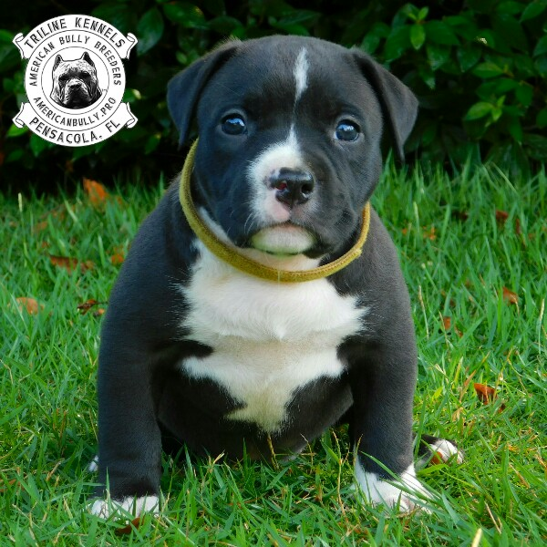 American Bully Puppies For Sale Triline Kennels