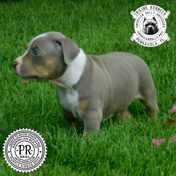 The Purple Lilac Champagne American Bully Conundrum