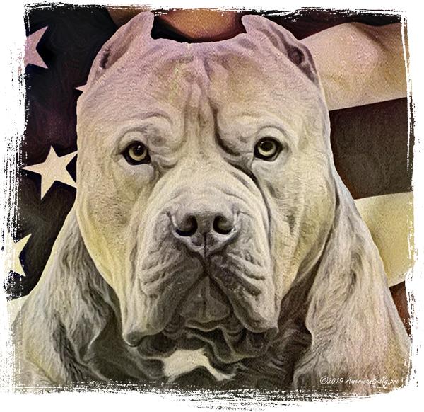 XL American Bully Champion Beefcake | TriLine Kennels