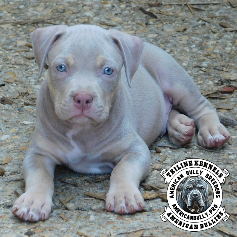 American Bully Puppies For Sale | TriLine Kennels